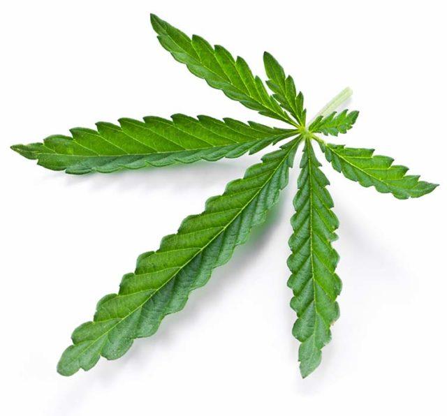 organic cbd leaf